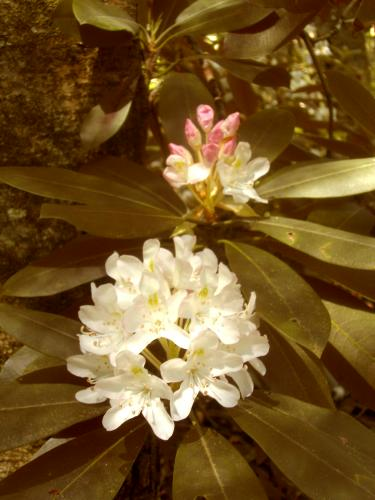 closeup of rhododendron