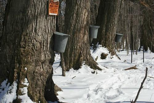 Maple trees with taps and buckets for collecting sap