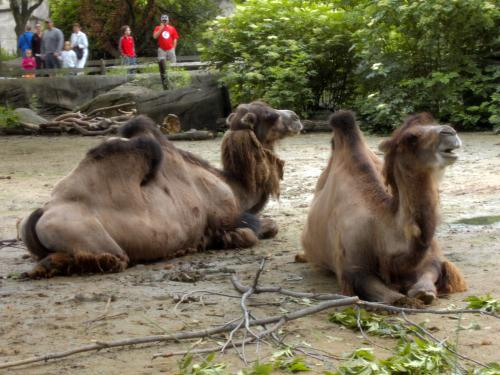camels at the Cleveland Metroparks Zoo, Cleveland, Ohio