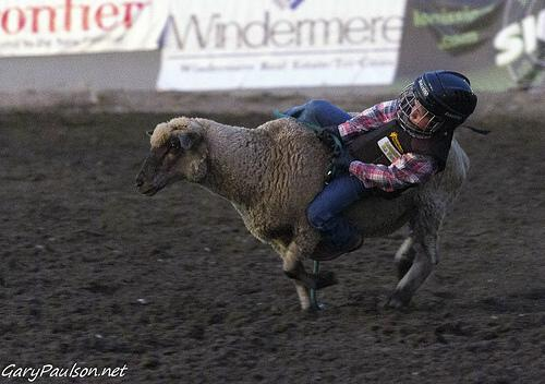 Mutton bustin' at a rodeo