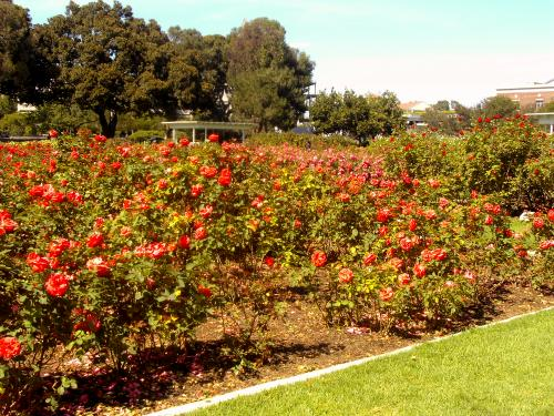 Acres of roses at Exposition Park Rose Garden, Los Angeles, California