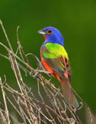male painted bunting at Santee National Wildlife Refuge, South Carolina