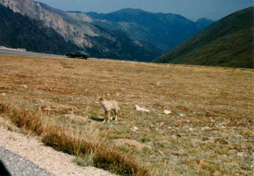 Coyote, Trail Ridge Road, Rocky Mountain National Park, Colorado