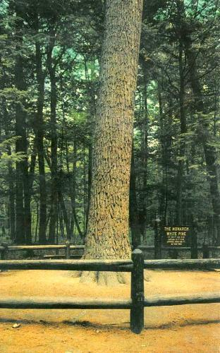 Monarch white pine, Hartwick Pines State Park, Grayling, Michigan, ca. 1955 postcard