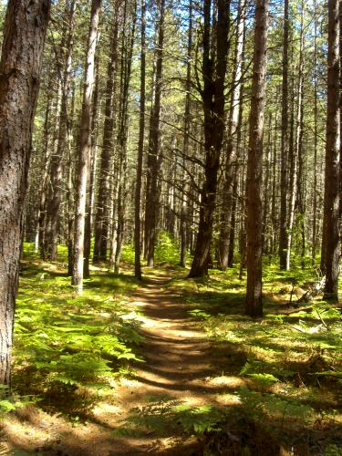 Trail through the Trees, Hartwick Pines State Park, Grayling, Michigan